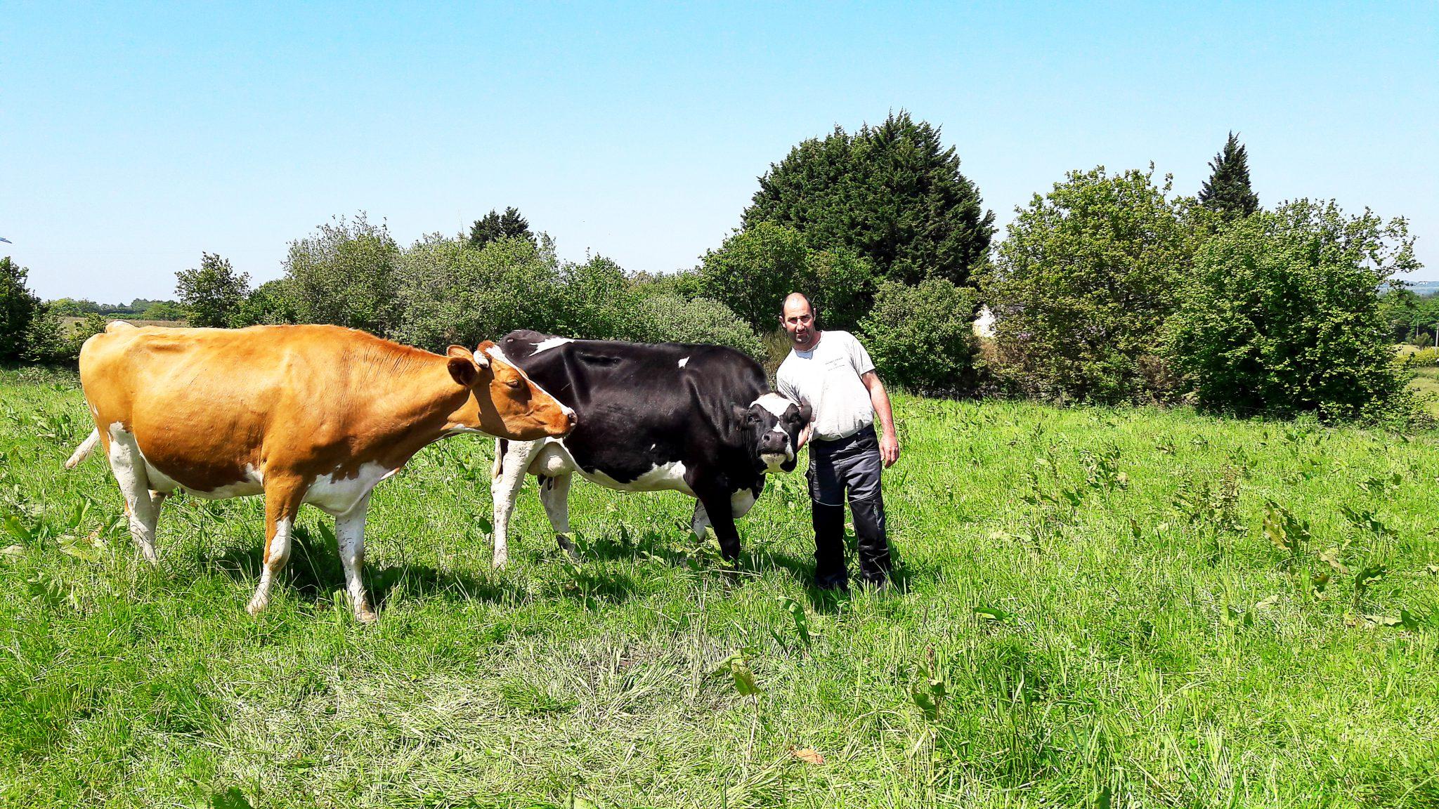 Guillaume Menguy avec ses vaches, une Prim'Holstein et une Normande